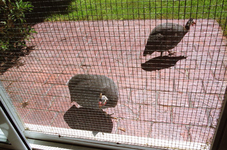 guineahens